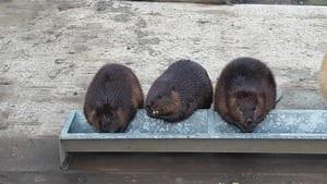 Three beavers eating